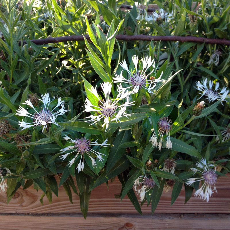 Œillet dianthus en fleurs, dans une caisse surélevée du potager.
