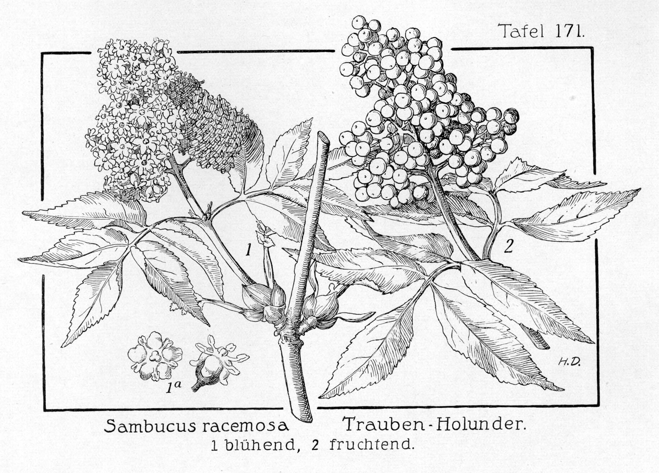 Tafel_171Sambucus racemosa 1927