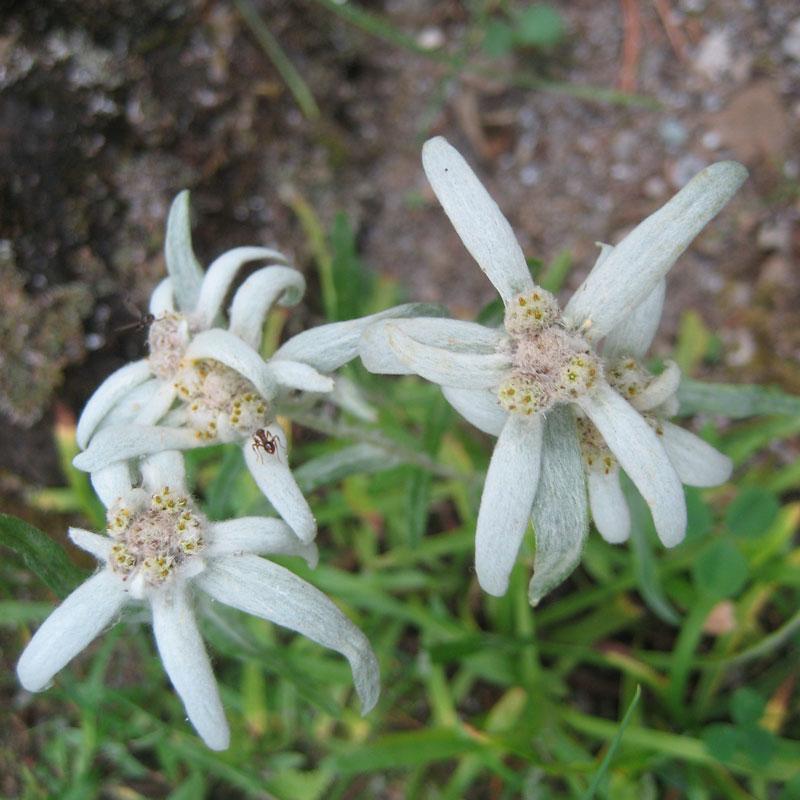 Leontopodium-souliei-Beauverd_chartreuse