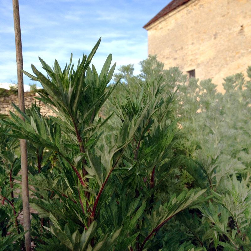 Artemisia Guizhou à la Chartreuse de Basseville, Bourgogne.