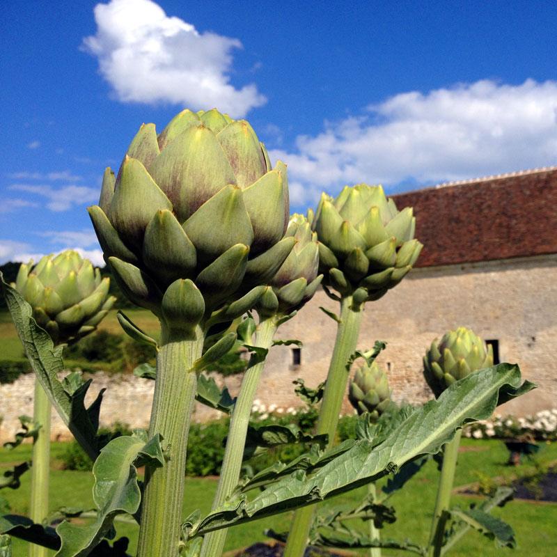 Artichauds, juin 2016, Chartreuse de Basseville.