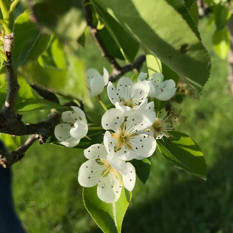 Les fleurs blanches du pommier Court pendu gris du verger conservatoire, avril.