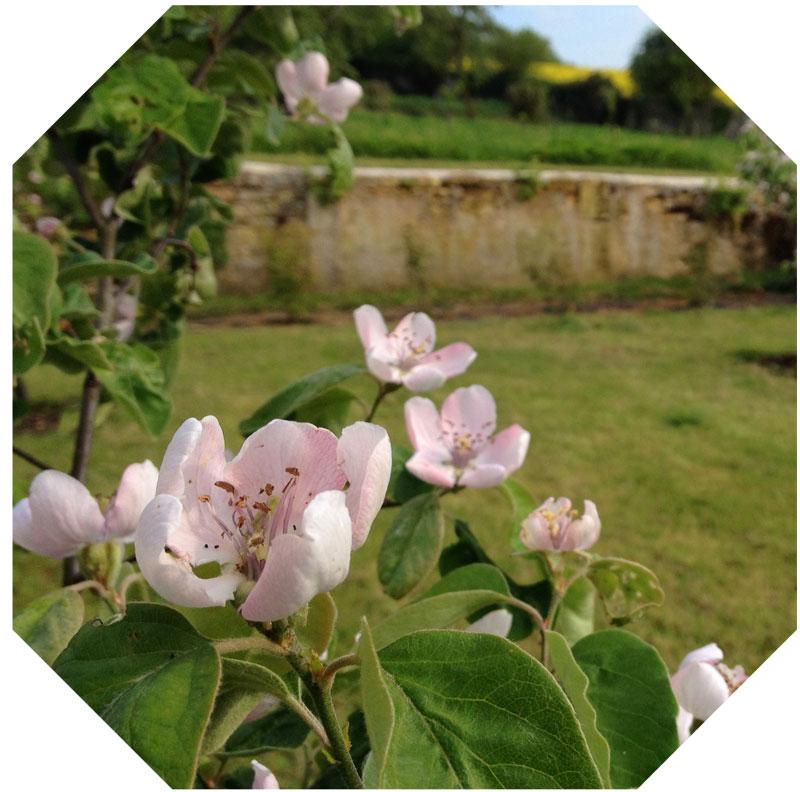 Les cognassiers en fleurs à la Chartreuse de Basseville