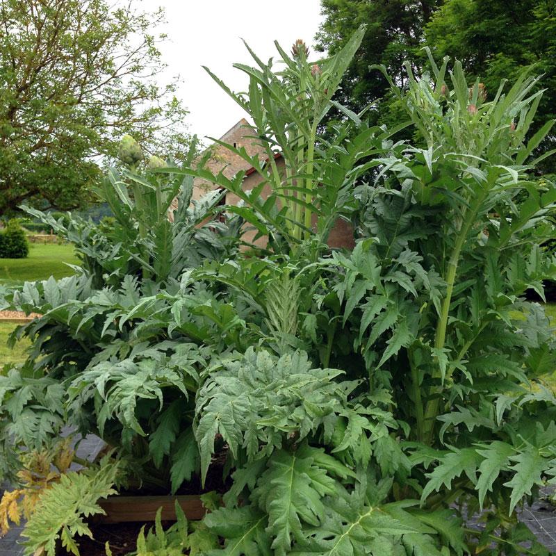 Artichauts, Rendez-vous aux jardins à la Chartreuse de Basseville, juin 2016.