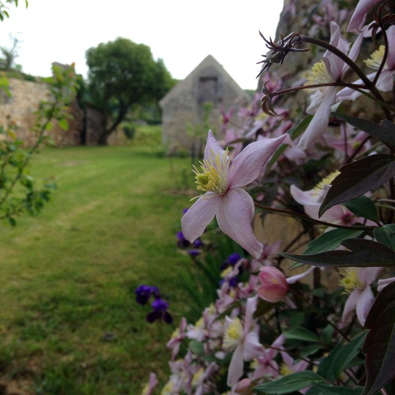 Iris et clématites, chartreuse de Basseville, Pousseaux. Printemps 2016.