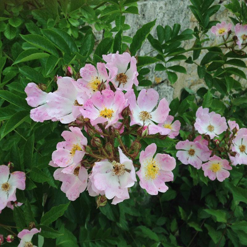 Roses à l'entrée de la chartreuse de Basseville.
