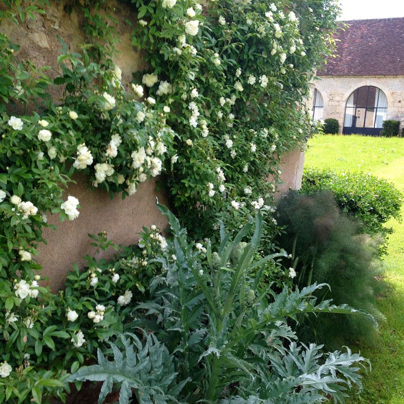 La Chartreuse de Basseville, rosiers, artichauts et fenouil.