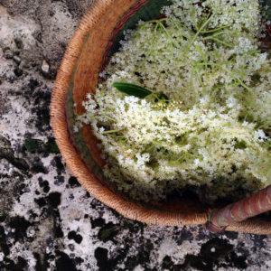 Récolter les fleurs de sureau à la Chartreuse de Basseville.
