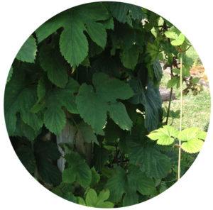 humulus-lupinus-houblon-chartreuse