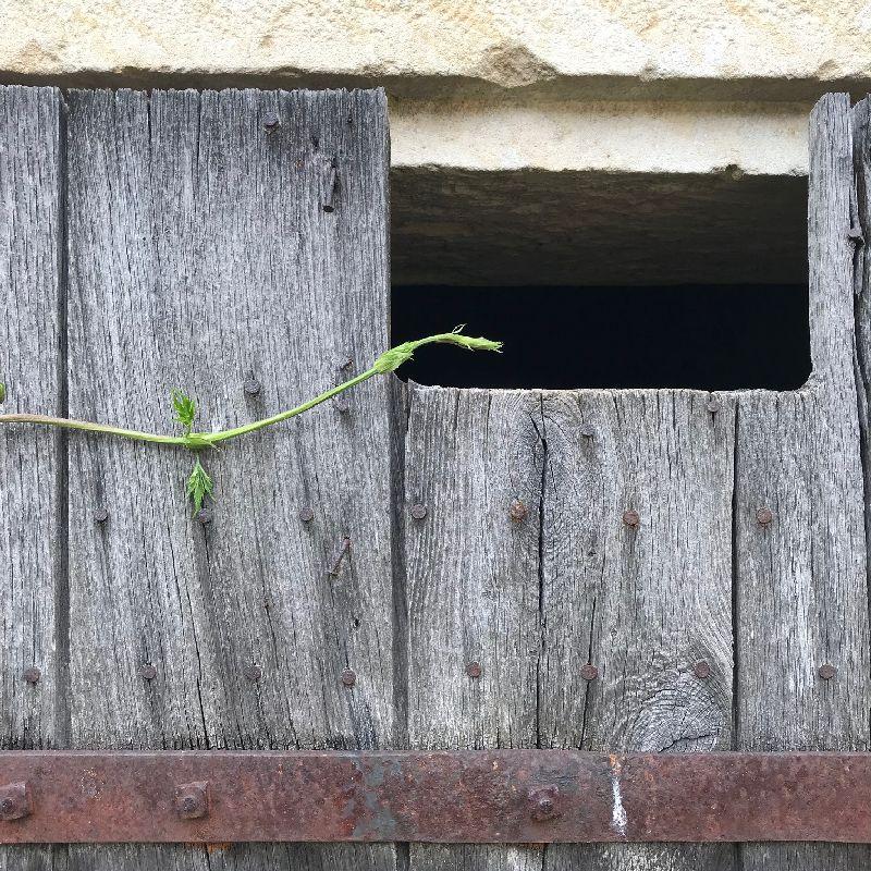 Jeune pousse de houblon dans le jardin de la Chartreuse de Basseville, Nièvre. Avril 2018.