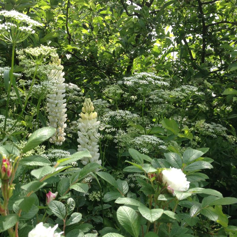 Les lupins du jardin de Lottie en Suède. Chartreuse de Basseville.