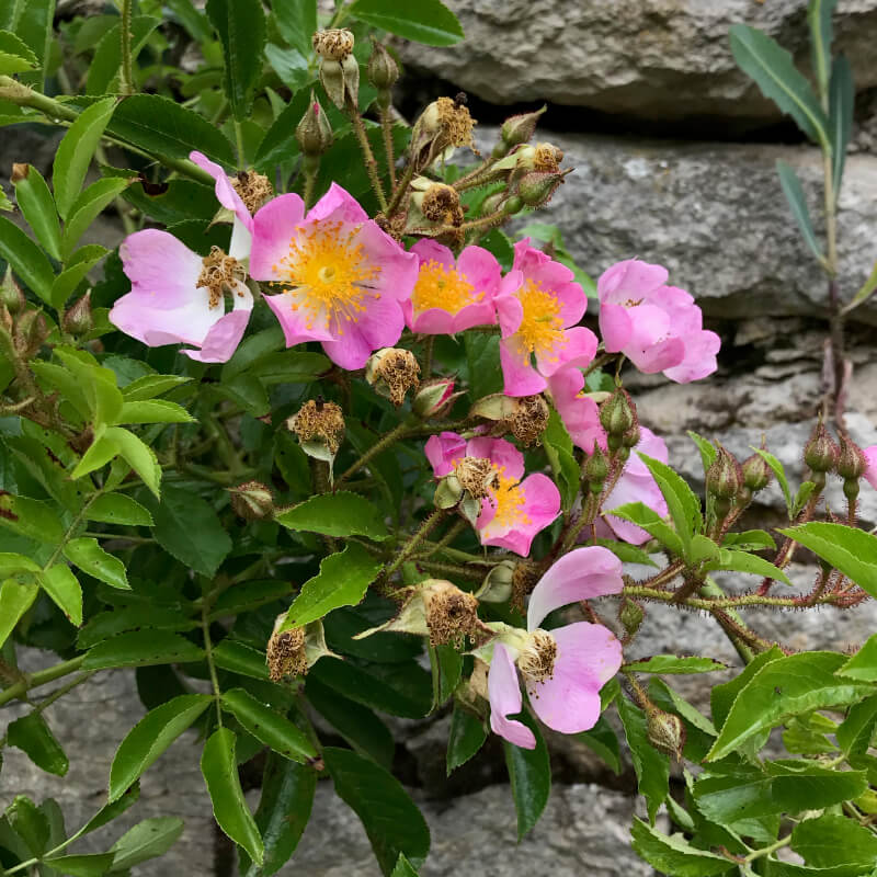 Le long du mur, un rosier Multiflora Adenochaeta, juin.