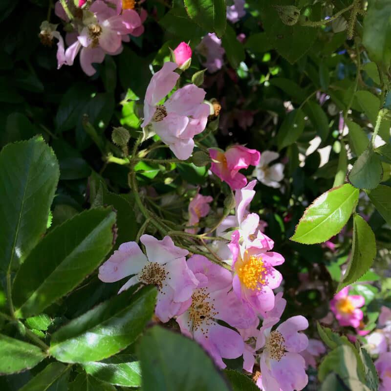 Le long du mur, un rosier Multiflora Adenochaeta en fleurs au mois de juin.