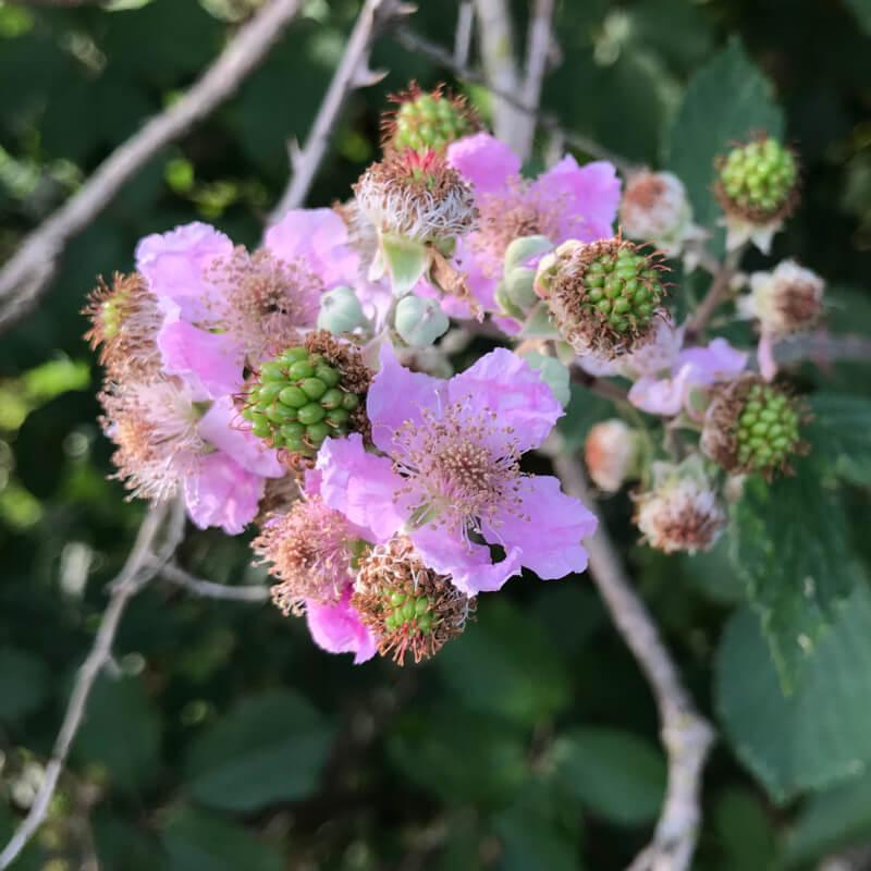 Gros plan sur les muriers en fleurs au mois de juillet.
