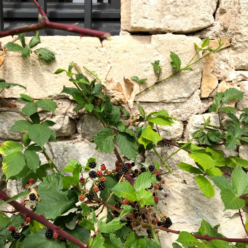 Les mûres apparaissent en août sur le roncier contre le mur.