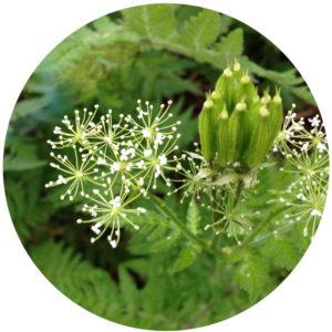 myrrhis-odorata-graines-basseville