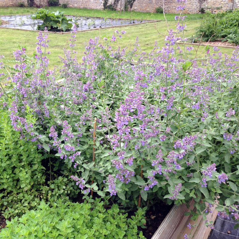 Nepeta, Rendez-vous aux jardins à la Chartreuse de Basseville, juin 2016.