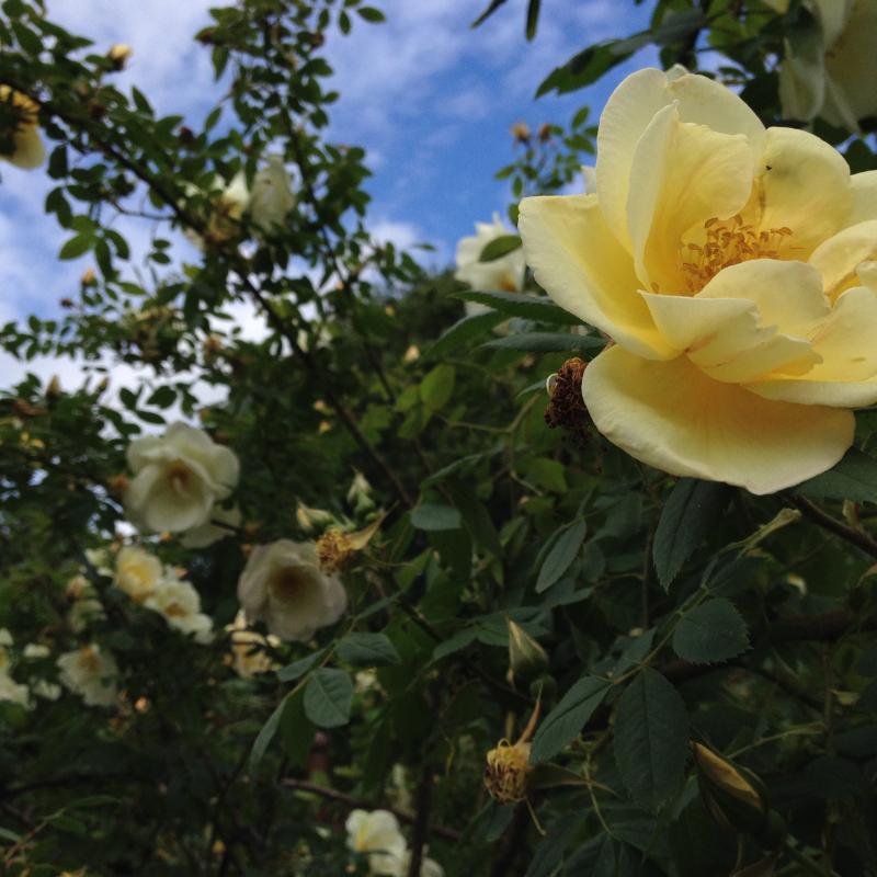 Une rose jaune dans la roseraie du parc de Fredriksdal, Helsingborg en Suède. Chartreuse de Basseville.