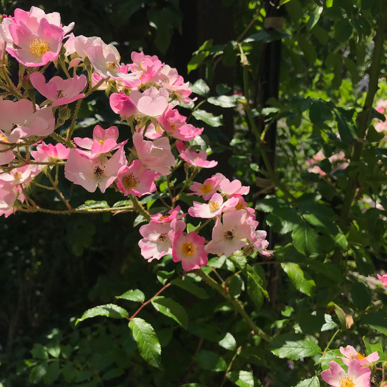 Gros plan sur le rosier Ballerina rosa x moschata