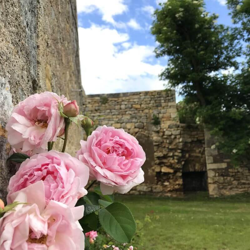 Rosier Constance Spry appuyé sur le mur de la soue.