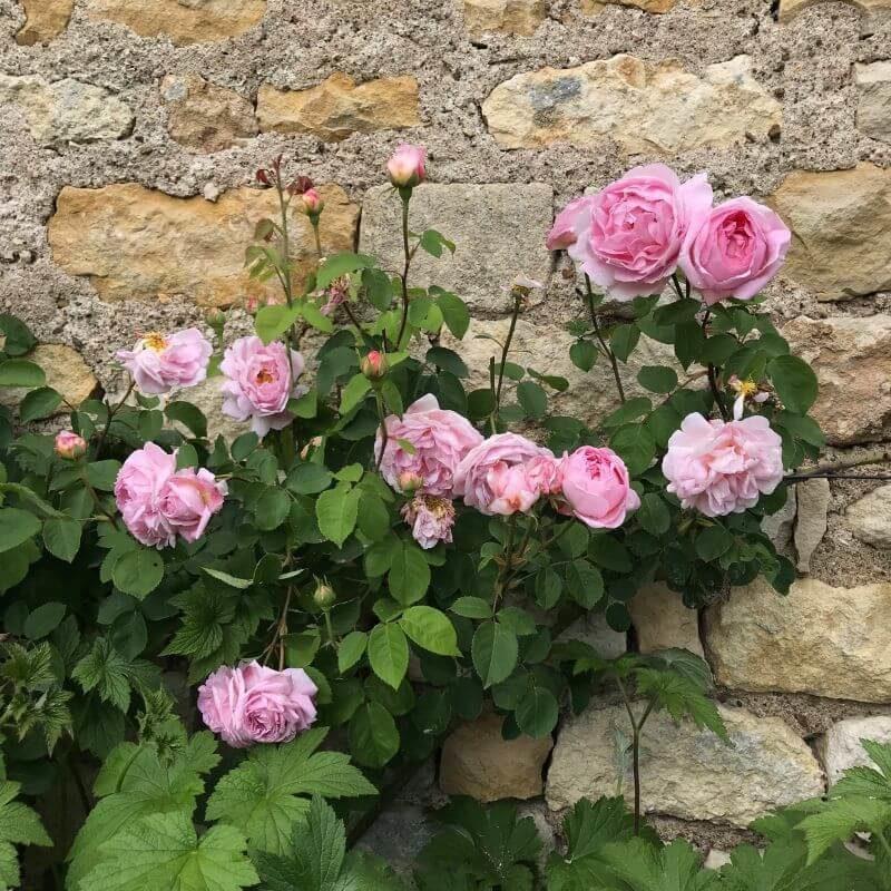 Rosier Constance Spry appuyé sur le mur de la porcherie.