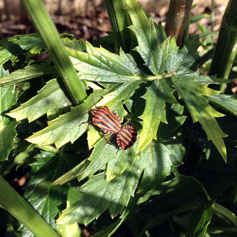 Rendez-vous aux jardins 2017 à la Chartreuse de Basseville. Les punaises arlequin sur les feuilles d'acanthe.