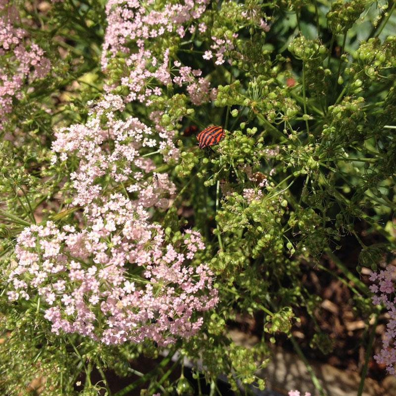 Rendez-vous aux jardins 2017 à la Chartreuse de Basseville. Punaises arlequin.