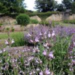 Salvia lavandulifolia et officinalis à la Chartreuse de Basseville, Bourgogne.