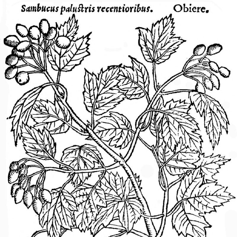 Illustration ancienne de sureau en fleurs