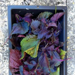 Feuilles de shiso pour le jus. Chartreuse de Basseville, Pousseaux. Août 2016