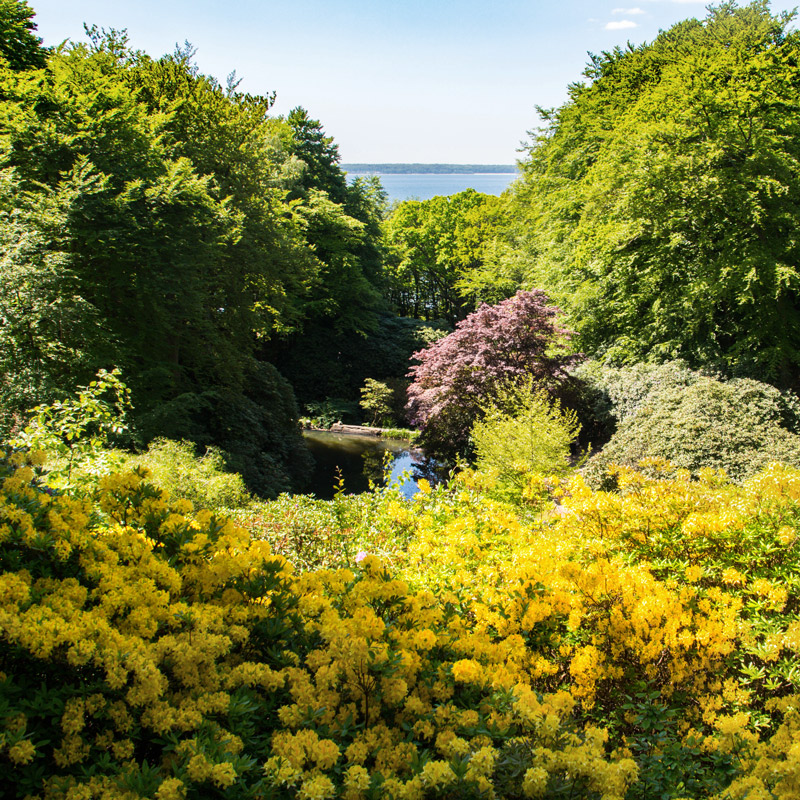 Les rhododendrons dans le parc de Sofiero en Suède. Au loin la côte du Danemark. Chartreuse de Basseville.
