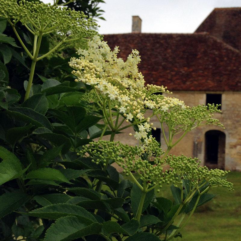 Le sureau en fleurs à la Chartreuse de Basseville.