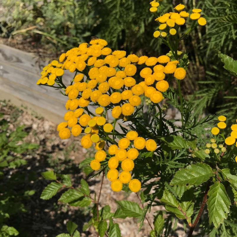 Les fleurs jaune orange de la tanaisie au mois de juillet.