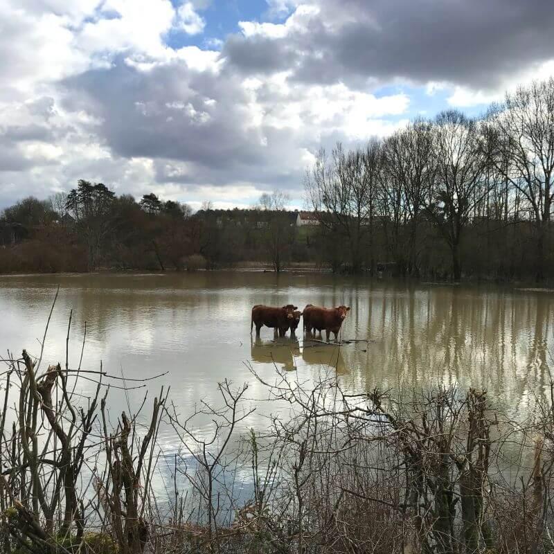 Les vaches du champs d'à coté, inondé par l'Yonne, sortie de son lit.