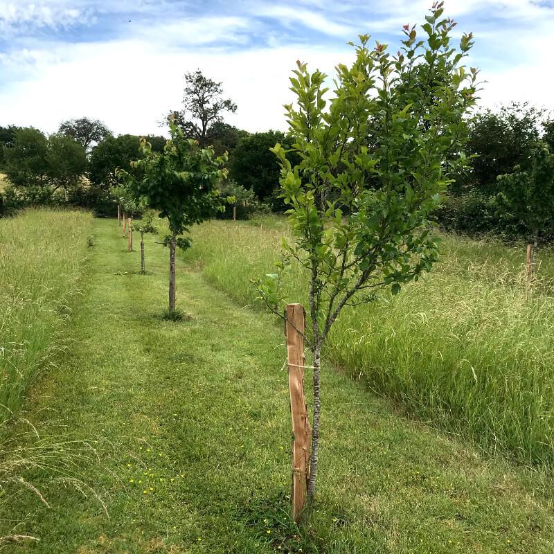 Une rangée de fruitiers alterne avec un bande herbée en juin dans le verger