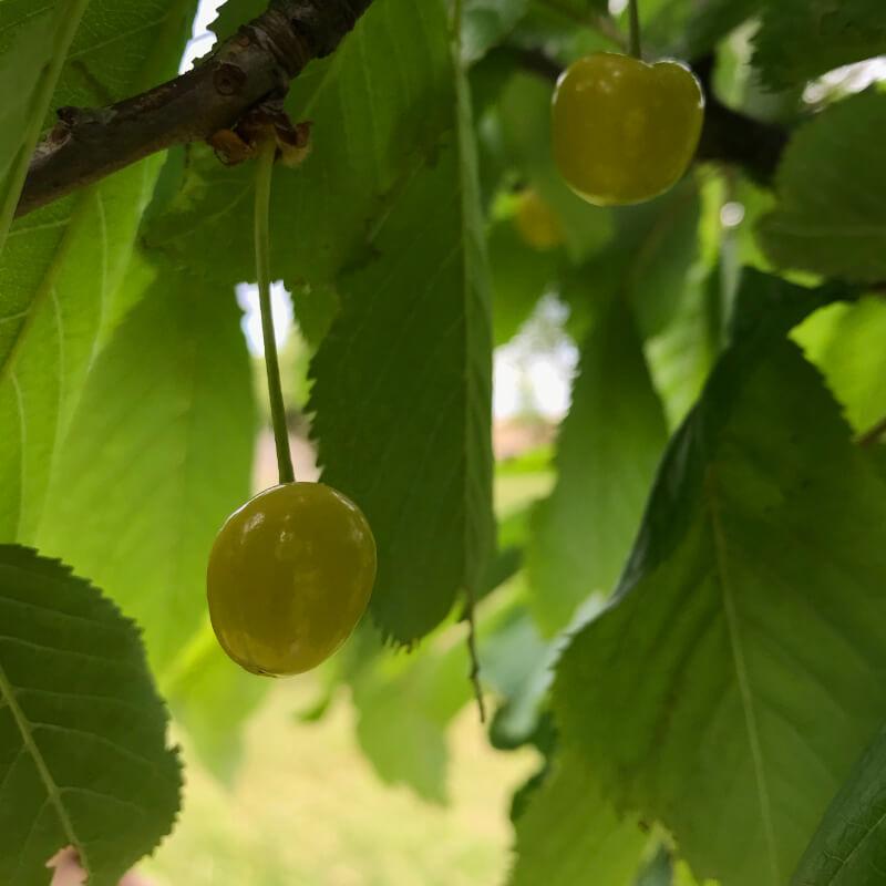 Le verger en juin. Deux cerises du bigarreau Stark Gold, une variété atypique avec des cerises jaunes d'or.