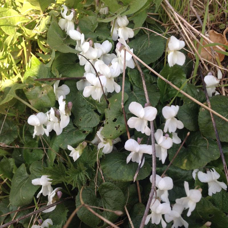 Violettes sauvages blanches. Mars à la Chartreuse de Basseville. Pousseaux près de Surgy. Les roches de Basseville.